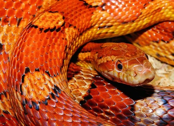 snake boa